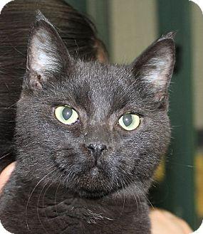 Oriental Kitten for adoption in Grinnell, Iowa - Black Jack