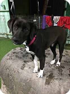 Labrador Retriever/Pointer Mix Dog for adoption in Burbank, California - Oreo