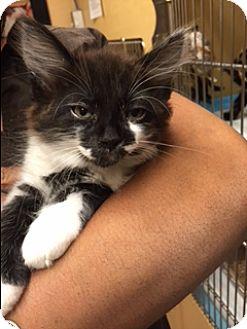 Domestic Shorthair Kitten for adoption in Palm Springs, California - Artie