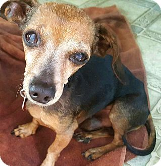 Dachshund/Chihuahua Mix Dog for adoption in Andalusia, Pennsylvania - Fritz
