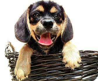 Beagle/Pekingese Mix Puppy for adoption in Cincinnati, Ohio - Hawthorne
