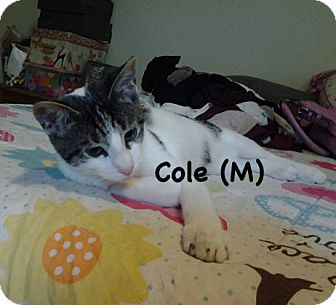 Domestic Shorthair Kitten for adoption in West Orange, New Jersey - Cole