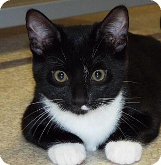 Domestic Shorthair Kitten for adoption in Grants Pass, Oregon - Buffalo Bill