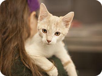 Domestic Shorthair Kitten for adoption in Dallas, Texas - Darla