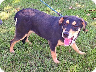 Rottweiler/Husky Mix Dog for adoption in Metamora, Indiana - Buster