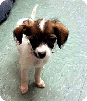 Poodle (Toy or Tea Cup) Mix Puppy for adoption in Tijeras, New Mexico - Ariel