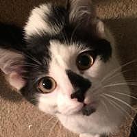 Adopt A Pet :: Kannon - Sedalia, MO