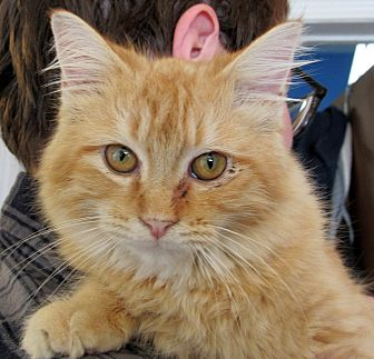 Domestic Longhair Cat for adoption in Grinnell, Iowa - Katom