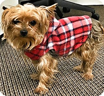 Yorkie, Yorkshire Terrier Dog for adoption in Boulder, Colorado - Bear-ADOPTION PENDING