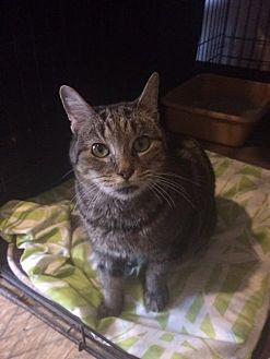 Domestic Shorthair Cat for adoption in Freeport, New York - Pretty Girl