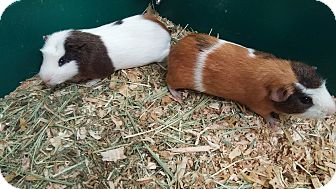 Guinea Pig for adoption in Aurora, Colorado - Nevile & Logan (aka Luna)
