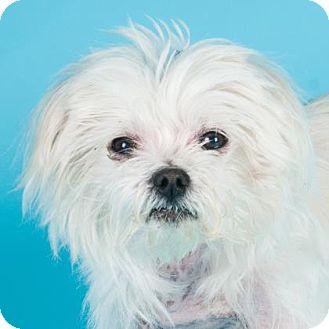 Maltese Mix Dog for adoption in San Francisco, California - Cirrus