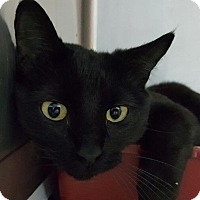 Domestic Shorthair Cat for adoption in Warrensburg, Missouri - Midnight