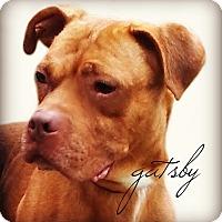 Adopt A Pet :: Gatsby - Des Moines, IA