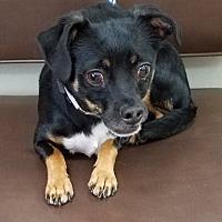 Adopt A Pet :: Ruffis - Las Vegas, NV