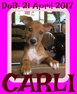 Basenji/Labrador Retriever Mix Puppy for adoption in Jersey City, New Jersey - CARLI