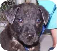 Labrador Retriever Mix Puppy for adoption in Marion, Arkansas - SAMPSON
