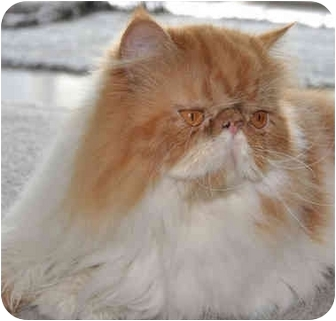 Persian Cat for adoption in Davis, California - Riley