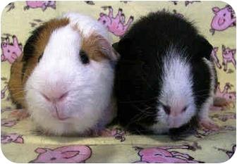 Guinea Pig for adoption in Latrobe, Pennsylvania - Angel & Chanty