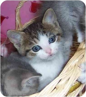Domestic Shorthair Kitten for adoption in Taylor Mill, Kentucky - Layla