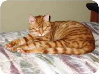 Domestic Mediumhair Cat for adoption in Seneca, South Carolina - MORRIS