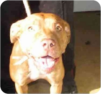 American Staffordshire Terrier Mix Puppy for adoption in New York, New York - Precious Baby Girl