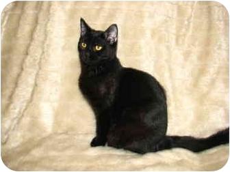 Domestic Shorthair Kitten for adoption in Norwich, New York - Carlos