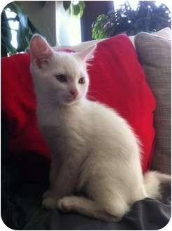 Domestic Shorthair Kitten for adoption in Montreal, Quebec - Blackjack