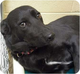 German Shepherd Dog Mix Dog for adoption in Wickenburg, Arizona - Sheebie