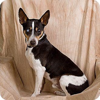 Rat Terrier Mix Dog for adoption in Anna, Illinois - MAVERICK