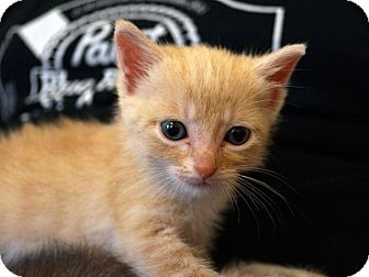 Domestic Shorthair Kitten for adoption in St. Louis, Missouri - Caesar