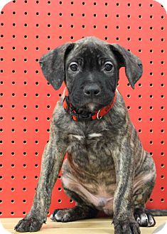 Retriever (Unknown Type)/Catahoula Leopard Dog Mix Puppy for adoption in Westminster, Colorado - Raspberry