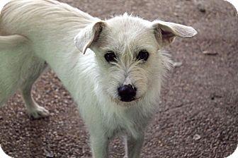 Schnauzer (Standard)/Terrier (Unknown Type, Small) Mix Dog for adoption in Austin, Texas - Desiree