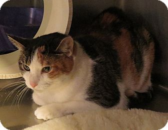 Calico Cat for adoption in Geneseo, Illinois - Kathy