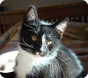 Domestic Shorthair Kitten for adoption in Owatonna, Minnesota - Cole