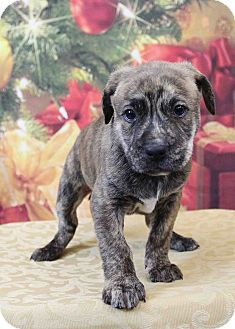 Boxer/Mastiff Mix Puppy for adoption in Westminster, Colorado - Christopher Robin