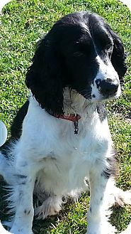 Springer Spaniel Dog for adoption in New Windsor, New York - GORDON
