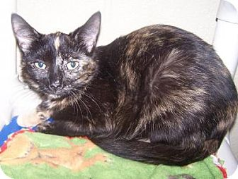 Domestic Shorthair Cat for adoption in Jackson, Michigan - Cookie