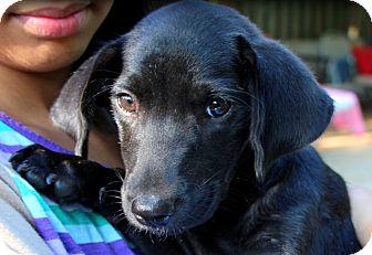 Labrador Retriever Mix Puppy for adoption in Glenburn, Maine - Beemer-adoption in progress