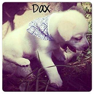 Labrador Retriever Mix Puppy for adoption in Grand Bay, Alabama - Dax