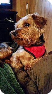 Yorkie, Yorkshire Terrier Mix Dog for adoption in Hazard, Kentucky - Spencer