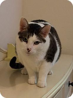 Domestic Shorthair Cat for adoption in Mesa, Arizona - Purell