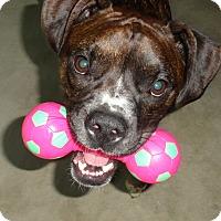 Adopt A Pet :: Harpo Barx - Dayton, OH