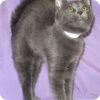 Domestic Shorthair Cat for adoption in Powell, Ohio - Ezzy