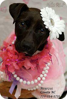 Labrador Retriever Mix Puppy for adoption in Newnan City, Georgia - Annie