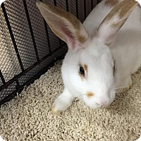 Adopt A Pet :: Joan Jett - Williston, FL