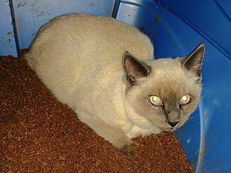 Siamese Cat for adoption in Grand Junction, Colorado - Siam
