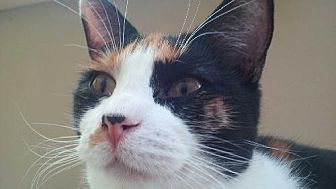 Calico Cat for adoption in Diamondville, Wyoming - Queen