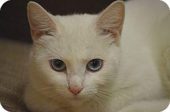 Domestic Shorthair Cat for adoption in Morgantown, West Virginia - Gigi