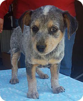 Blue Heeler/Beagle Mix Puppy for adoption in Trenton, New Jersey - Gator
